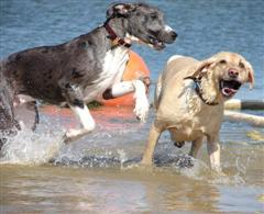 Juvenile Great Dane and Yellow Lab playing in the water